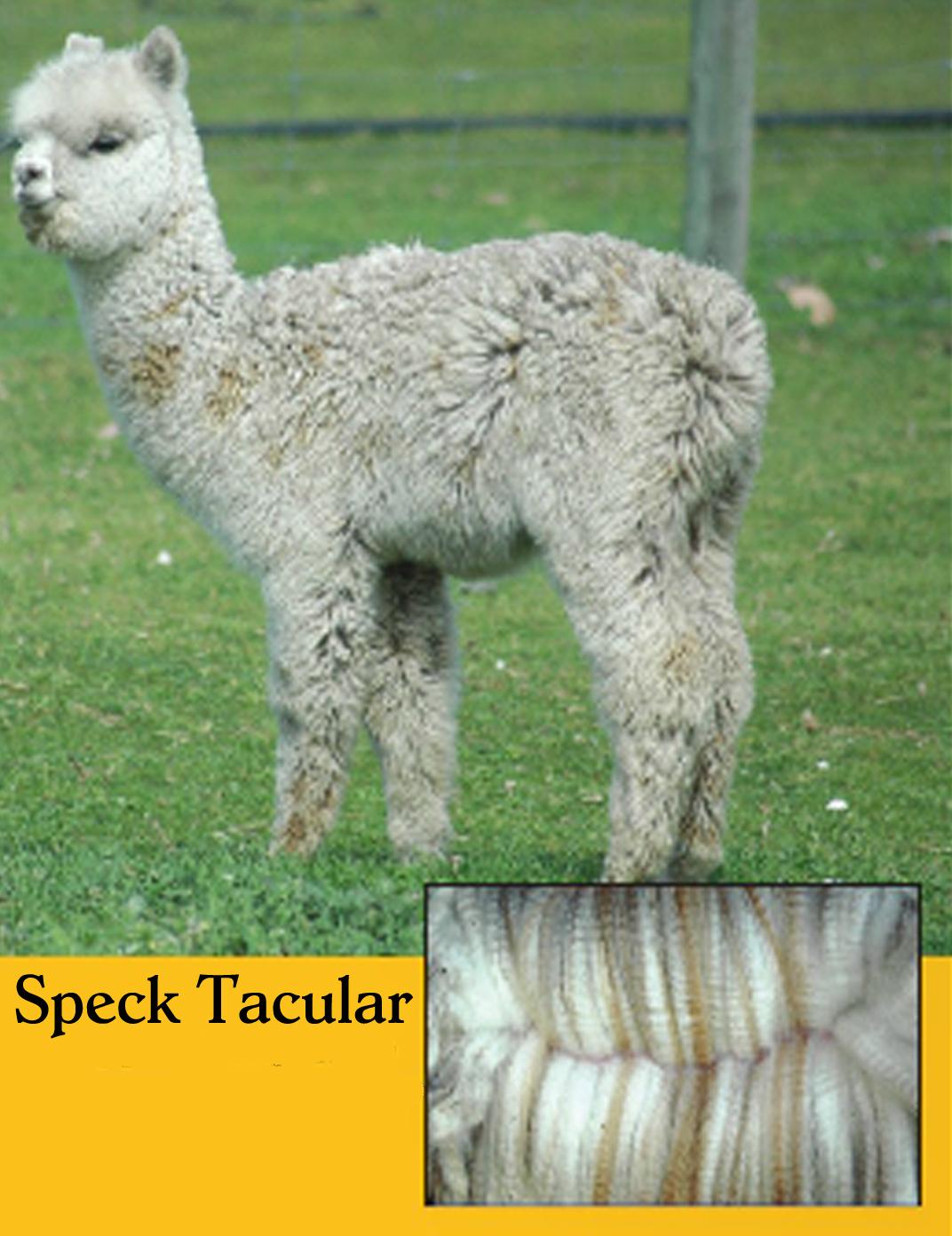 Speck Tacular 2
