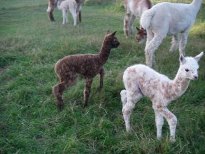 Cria Goddess & Royale