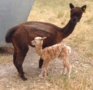 Leopard Becoming